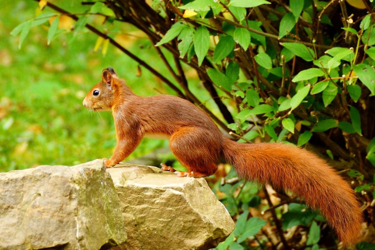 Eichhörnchen Im Garten : sonyuserforum galerie ~ Watch28wear.com Haus und Dekorationen
